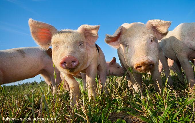 Schweine unter blauem Himmel im grünen Gras